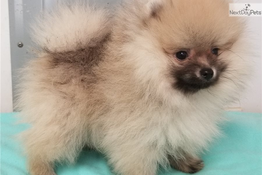 Mary: Pomeranian puppy for sale near Pittsburgh
