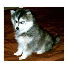 View full profile for MINIHUSKIES.NET