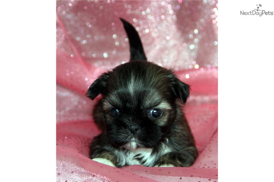 Aspen Shih Tzu Puppy For Sale Near Rochester New York 2a5d616b 5851