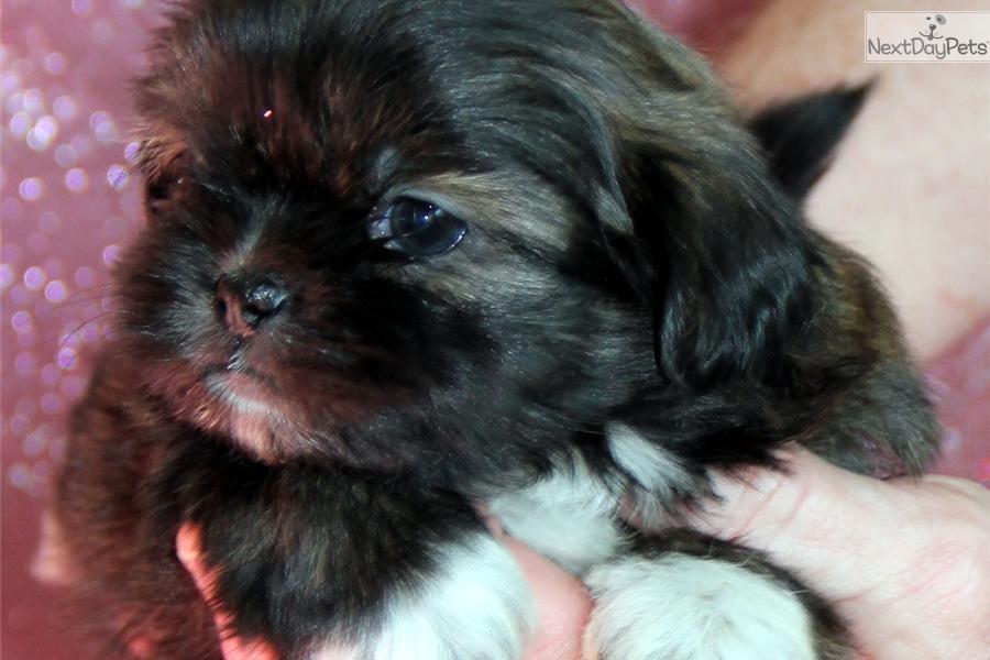 Yum Yum Shih Tzu Puppy For Sale Near Rochester New York 7e304d88
