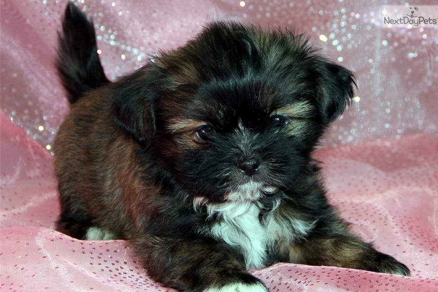 Benny Shih Tzu Puppy For Sale Near Rochester New York 980ec66b 9651