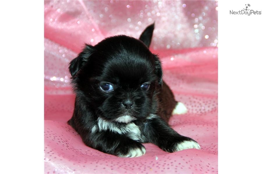 Aspen Shih Tzu Puppy For Sale Near Rochester New York 071a5757 5a31