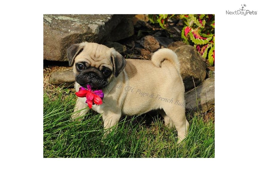 pug breeders in va akc ch outstanding health pug puppy for sale near 7712