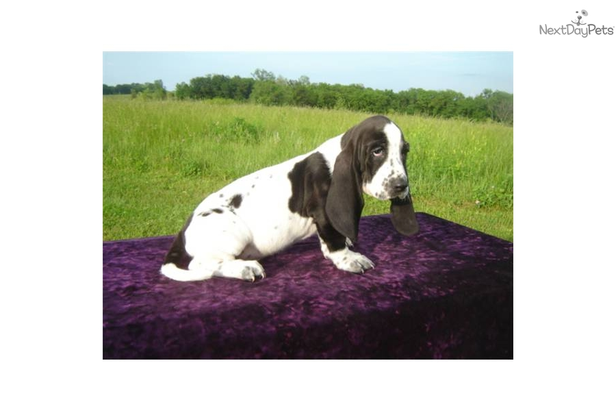 AKC Sissy | Black, White Female Basset Hound For Sale in ...  |Black And White Hound Dog