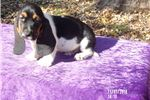 Picture of Amos the AKC male Basset