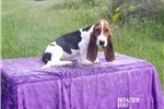 Picture of Shelby the AKC Basset Hound