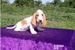 Picture of Sunny the AKC female Basset Hound