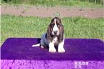 Picture of Jasmine the AKC Female Basset