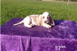 Picture of Sunny the AKC Basset Hound