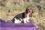 Picture of Wendy the female Basset Hound