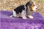 Picture of Moose the AKC Basset Hound