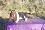 Picture of Barney the AKC male Basset