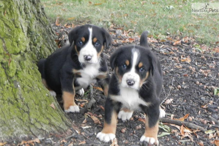 Greater Swiss Mountain Dog puppy for sale near Greenville ...