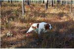 Picture of AKC OFA BRITTANY SPANIEL PUPPIES