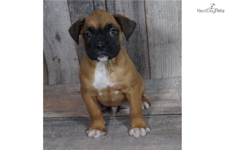 Valentino Boxer Puppy For Sale Near Fort Wayne Indiana 3b6dbe25