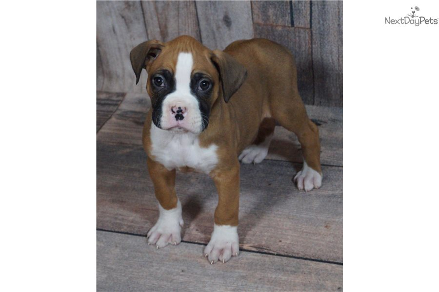 Eros Boxer Puppy For Sale Near Fort Wayne Indiana Ce45f178 E0d1