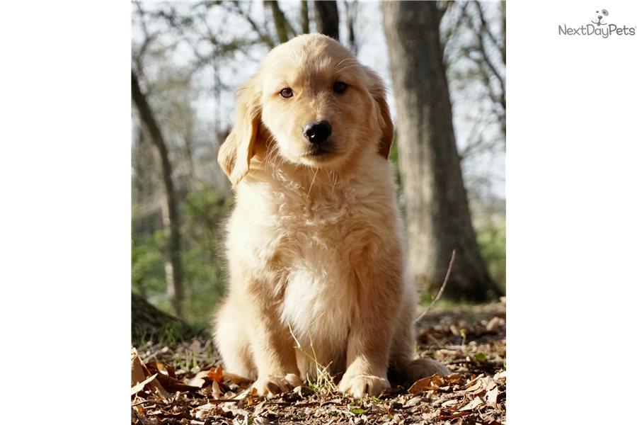 Gunner Golden Retriever Puppy For Sale Near Fort Wayne Indiana