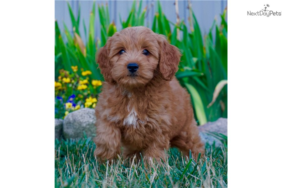 Ruby Goldendoodle Puppy For Sale Near Fort Wayne Indiana