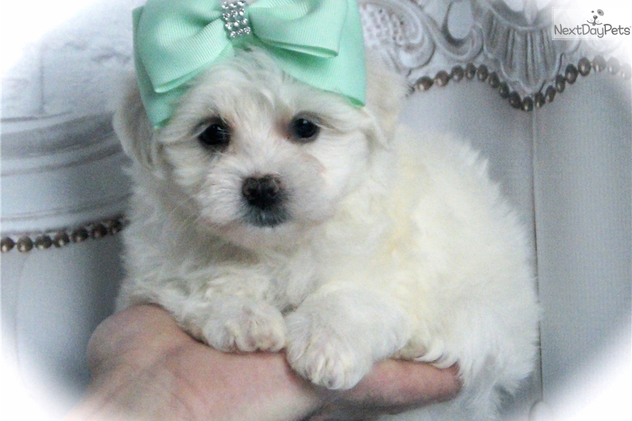 maltese breeders indiana maltese puppy for sale near fort wayne indiana fedcb4cc 8739