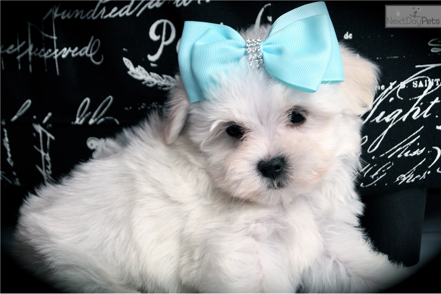 maltese breeders indiana maltese puppy for sale near fort wayne indiana 4d7b6852 2231