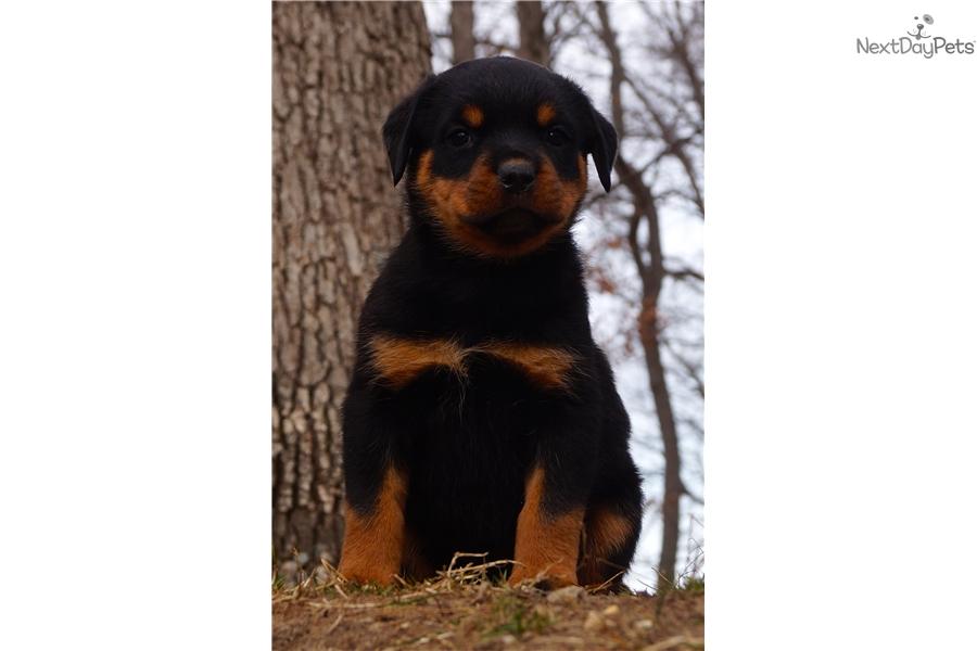 Raja Rottweiler Puppy For Sale Near Fort Wayne Indiana 630ba3aa 53e1