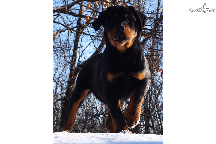 Malie Rottweiler Puppy For Sale Near Fort Wayne Indiana 82be425a