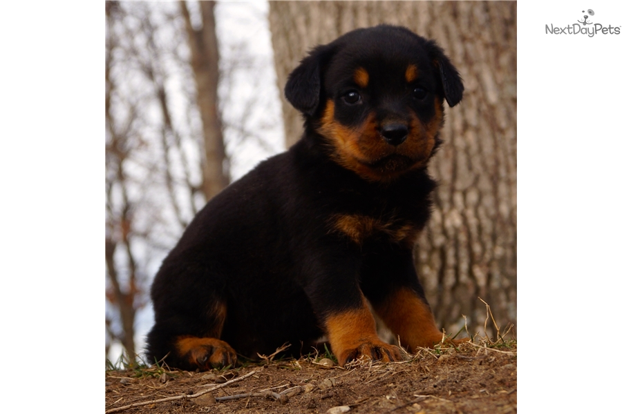 Remmy Rottweiler Puppy For Sale Near Fort Wayne Indiana C71f1e4c