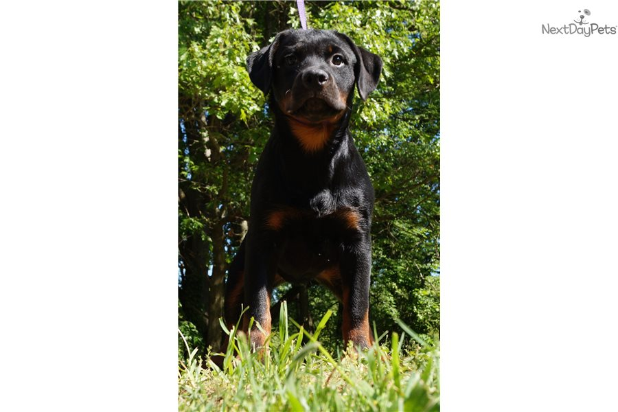Rottweiler puppies for sale in fort wayne indiana