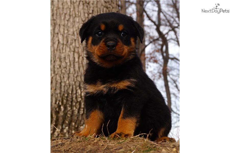Aiva Rottweiler Puppy For Sale Near Fort Wayne Indiana E4f6014c B261