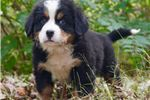 Picture of Too Cute Hugo Bernese Mountain Dog Boy Puppy