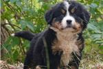 Picture of Too Cute Boss Bernese Mountain Dog Boy Puppy