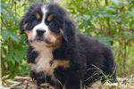 Picture of Too Cute Moose Bernese Mountain Dog Boy Puppy