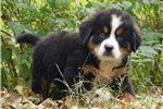 Picture of Super Cute Bernie Bernese Mountain Dog Boy Puppy