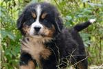 Picture of Too Cute Charlie Bernese Mountain Dog Boy Puppy
