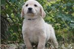 Picture of Sweet Sweet Ava Golden Retriever Girl Puppy