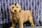 Barbie Goldendoodle Puppy For Sale Near Fort Wayne