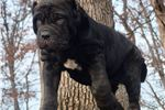 Picture of Champion Sired Neapolitan Mastiff puppy Ready to g