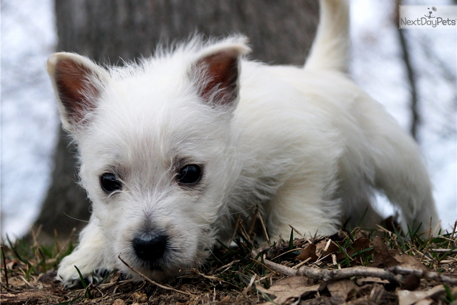 west highland terrier for sale near me west highland white terrier westie puppy for sale near 6512