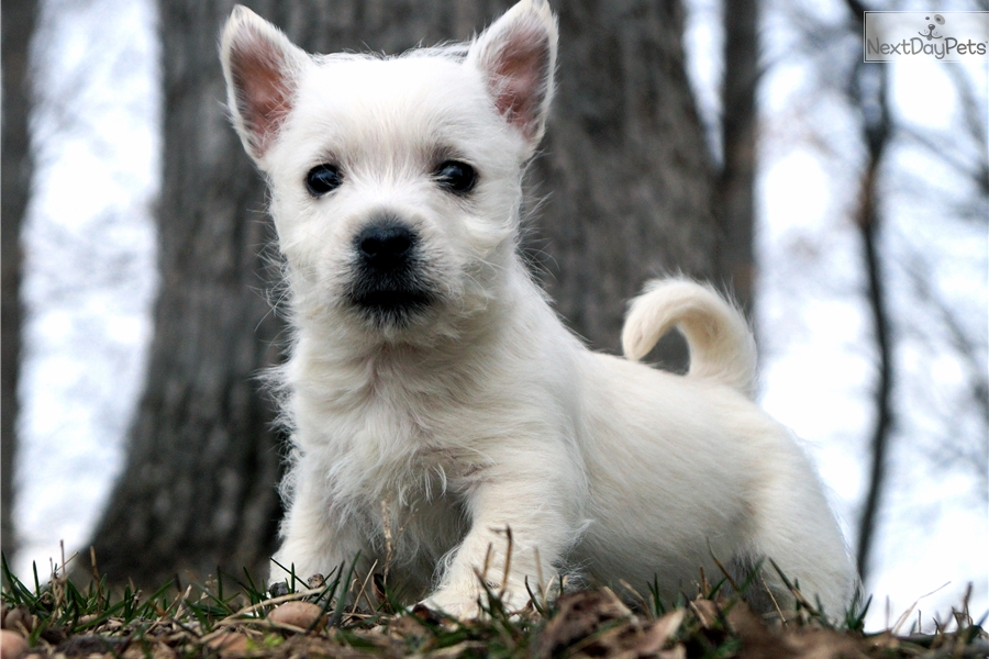 west highland terrier for sale near me west highland white terrier westie puppy for sale near 5345