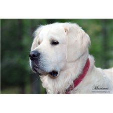 View full profile for Our Golden Retrivers