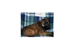 Featured Breeder of Soft Coated Wheaten Terriers with Puppies For Sale