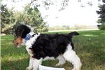 Picture of Max- wire fox terrier male
