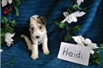 Picture of Heidi- Beautiful Wire Fox Terrier