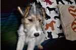Picture of Happy- Wire Fox Terrier Female