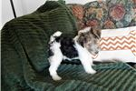 Picture of Harris- Handsome Wire Fox Terrier Male