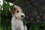 Picture of Berkley Male wire fox terrier