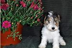 Picture of Opal- wire fox terrier female
