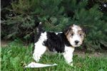 Picture of Molly-wire fox female