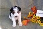 Picture of Bently Wire fox Terrier male