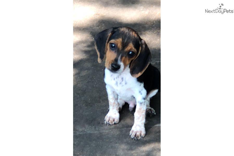 Keno Beagle Puppy For Sale Near Dallas Fort Worth Texas
